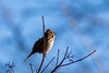 song sparrow (david_sharo) Tags: nature wildlife bird sparrow moraine