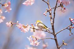 _DSC0766.jpg (plasticskin2001) Tags: mejiro sakura flower bird
