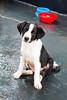 Max - 2 meses (yoshimi_su) Tags: 70d canon fernandópolis max srd susanyoshimi bicolor canon70d cão dog filhote fotografia photography puppy sp 2meses