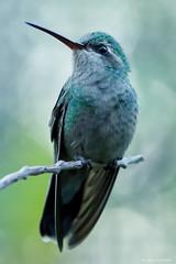 Black-chinned Hummingbird (dpsager) Tags: arizona arizonasonoradesertmuseum bird blackchinnedhummingbird dpsagerphotography tucson hummingbird zoosofnorthamerica worldofanimals
