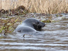 Common Seal (chdphd) Tags: aberdeenshire aberdeen seatonpark river riverdon don harbourseal commonseal phocavitulina phoca