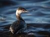 Horned Grebe (Kevin James54) Tags: hornedgrebe nikond850 podicepsauritus tamron150600mm wilmington animals avian bird fortfisher grebe kevingianniniphotocom