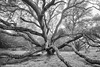 Tentacles (michael ryan photography) Tags: fog mist tree oak monochrome blackandwhite petaluma california northerncalifornia morning sprawling michaelryanphotography sonoma sonomacounty