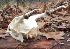 (Coyoteprince) Tags: muntjac deer skull bone reference