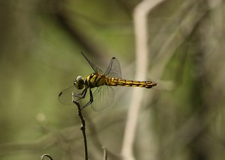 Forest Chaser (Lyriothemis elegantissima) Female