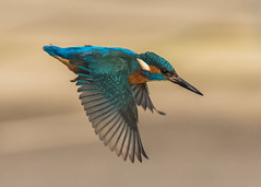 Kingfisher (  Alcedo atthis ) Male (Dale Ayres) Tags: kingfisher alcedo atthis male bird nature wildlife