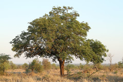 Tree sp. - South Africa (Nick Dean1) Tags: tree plantae flora krugernationalpark southafrica