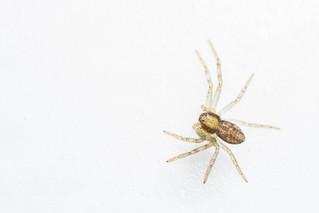 Philodromus sp. spider