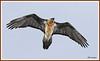 Gypaète 180115-06-RP (paul.vetter) Tags: oiseau ornithologie ornithology faune animal bird gypaètebarbu gypaetusbarbatus bartgeier quebrantahuesos beardedvulture vautour rapace