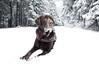 Thuringerwald (Dld) (jopieborst) Tags: bruinelabrador labrador hond bos sneeuw