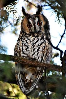 Long-eared Owl resting in a tree - Túrkeve