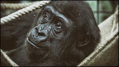 _SG_2018_02_0001_IMG_3324 (_SG_) Tags: nachwuchs baby newblood offspring newborn new born gorilla apes affe affen ape monkey menschenaffe primaten primates schwarzundweiss schwarzweiss blackwhite bw black white blackandwhite schwarz weiss