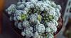 cacti (jnsfrbrg) Tags: succulent suculent cactus cacti kaktus plant flower nature flowers sweden canon eos 200d 24mm wide