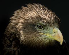 Yellow-billed Kite (Milvus aegyptius) (Wade Tregaskis) Tags: milvusaegyptius yellowbilledkite portrait profileview