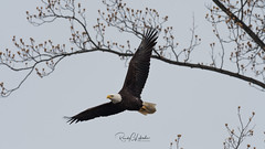 Bald Eagles of the Jersey Shore | 2018 - 9 (RGL_Photography) Tags: americanbaldeagle baldeagle birding birds birdsofprey birdwatching eagle freedom gardenstate godblessamerica haliaeetusleucocephalus jerseyshore monmouthcounty newjersey nikonafs600mmf4gedvr nikond500 raptors symbolofamerica us unitedstates wildlife wildlifephotography bif birdsinflight
