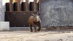 jonge zwarte neushoorn (marieckejanssen) Tags: black rhinoceros neushoorn zwart diceros bicornis mammal animal blijdorp dierentuin zoo diergaarde jong blindphotographer