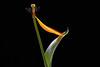 With a Little Help (macplatti) Tags: tulpe xt2 xf55200mmf3548rlmois natur flora zwiebelgewaechse gegenlicht help lightforming koblach vorarlberg austria aut
