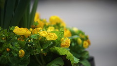 NSM04649 (rickytanghkg) Tags: minolta70210mm minolta sony a7ii sonya7ii flower