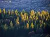 Colori d'autunno a Campo Imperatore (giorgiorodano46) Tags: novembre2010 november 2010 abruzzo gransasso campoimperatore casteldelmonte giorgiorodano italy larici larches melezes bosco forest woods giallo yellow autunno autumn colors autumncolors larixdecidua htmt
