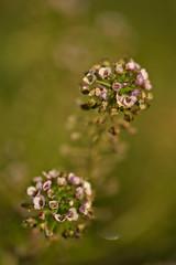 Withered Alyssum (pstenzel71) Tags: blumen natur pflanzen alyssum withered flower winter darktable bokeh samsungnx