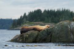 Lazy sea lion (grahamvphoto) Tags: vancouverisland britishcolumbia vi bc canada travel water sealion animal nature rocks sky trees
