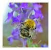 Bumble (Graham Pym) Tags: bumble nikon macro purple wings lavender insect nature