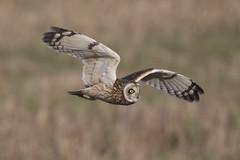 Short Eared Owl - finally! (Chris Bainbridge1) Tags: asioflammeus shortearedowl in flight cambridgeshire