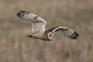 Short Eared Owl - finally!