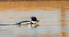 RBME01 (HallieDaly) Tags: ythan estuary scotland united kingdom birds ornithology merganser redbreasted goo sander common eider seal wildlife