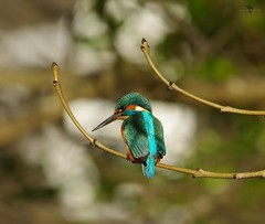 endcliffe park kingfisher sheffield 2018 (1) (Simon Dell Photography) Tags: endcliffe park bingham whitley woods forge dam kingfisher bird rare blue orange winter spring grey animal nature together wildlife sheffield botanical gardens simon dell photography 2018 feb 24 sunny detail high res perched sitting fishing