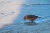 Grote Kruisbek Male (Loxia pytyopsittacus - Parrot Crossbill) (gipukan (rob gipman)) Tags: grote kruisbek loxiapytyopsittacus parrotcrossbill 177a3805 male canon 5d4 eos canon100400lis netherlands birds vogel trek