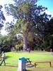 New Zealand. North of Auckland. A giant old Kauri tree. (denisbin) Tags: auckland waitomo glworms cave kauri bole tree taupo laketaupo warkworth