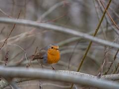 Rotkehlchen (Ina Hain) Tags: porträt tiere olympus natur nature outdoor bavaria bayern mangfall winter singvögel bird vogel rotkehlchen