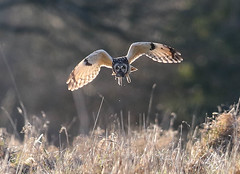 Short Eared Owl Asio flammeus 123-1 (cwoodend..........Thanks) Tags: gloucestershire hawling shortearedowl shortie owl raptor wildlife asioflammeus seo hunting quartering