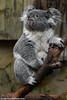 Koala - Zoo Duisburg (Mandenno photography) Tags: dierenpark dierentuin dieren duitsland animal animals germany zoo zooduisburg koala ngc nature