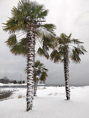 English Bay snow (Ruth and Dave) Tags: englishbay beach westend vancouver sea ocean snow weather weatherphotography palmtree palm tree cold winter wintry seaside coast inlet falsecreek