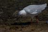 180114_Silver Gull_02 (Pusher141) Tags: applecrossforeshore ornithology bird birds d750 nikkor200500 silvergull feeding