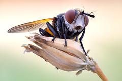Tachinid fly (zgrkrmblr) Tags: macro macrophotography bug focusstack sonya7 newport433 manfrotto410 manfrotto357 berlebachminitripod sunwayfoto arthropoda insect böcek makro fieldstack tachinidfly gymnosoma diptera naturallight entomology canonmpe65mmf2815xmacrolens metabonescanoneftosonyesmartadaptermarkiv