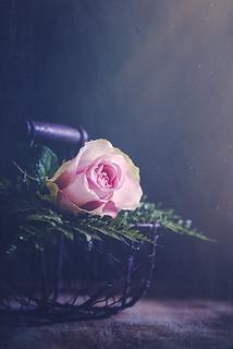 A beauty pink