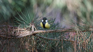 Small & beautiful (2/2) : a great tit on a branch