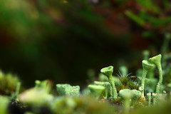 Pixie cups (Ron and Co.) Tags: pixiecuplichen cladoniaasahinae lichen cladonia fungi moss green macro horsfordwoods