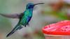 Sparkling Violetear hummingbird (ricmcarthur) Tags: ecuador greenvioletearvioletear hummingbird quito pichincha colibri thalassinus