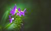 Hebe flower (Dhina A) Tags: sony a7rii ilce7rm2 a7r2 kaleinar mc 100mm f28 kaleinar100mmf28 5n m42 nikonf russian ussr soviet 6blades hebe flower bokeh