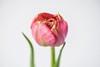 Tulip (blickfängerin) Tags: nikond750 nikon natur blume blumen tulpen tulpe makro macro nature flowers flower petal tulip