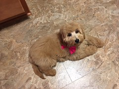 Roxie's Dolce after her 1st grooming!