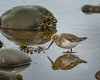Dunlin 20171203_8991 (GORGEous nature) Tags: calidrisalpina dunlin masonco potlatchstatepark vertebrates washington bird fall foraging shorebird water december ©johndavis