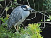 Yellow-crowned Night-Heron 01-20180119 (Kenneth Cole Schneider) Tags: florida miramar westmiramarwca