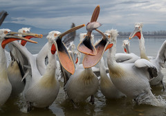 Lithotopos (MoGoutz) Tags: dalmatian pelicans kerkini lithotopos fish feeding nikon d500
