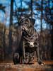 Sába (Neferkheperure) Tags: dog canecorso italianmastiff blackdog nature sunny bokeh