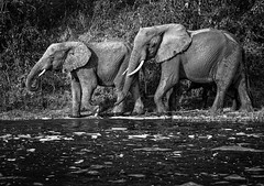 River stroll (Dan Fleury) Tags: family animals wilderness wild mono white black bnw uganda africa elephant